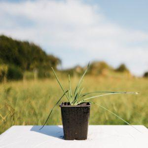 Ciboulette – Allium Schoenoprasum