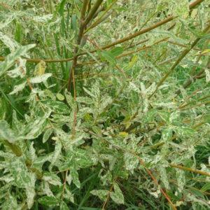 Saule Crevette – Salix integra