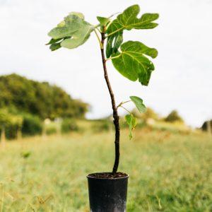 Figuier – Ficus carica
