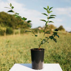 Forsythia – Forsythia intermedia 'lynwood'