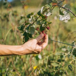 Framboisier – Rubus idaeus – 'Heritage'