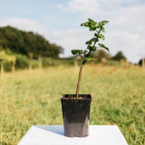 Groseiller à grappes Versaillaise blanche – Ribes rubrum