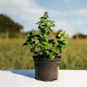 Menthe Petite Feuille / Menthe à Feuilles Rondes – Menta rotundifolia
