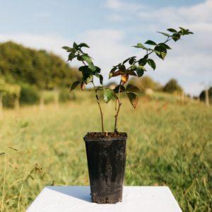 Mûrier sans épines – Rubus fruticosus