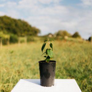 Viorne à feuilles de prunier – Viburnum prunifolium