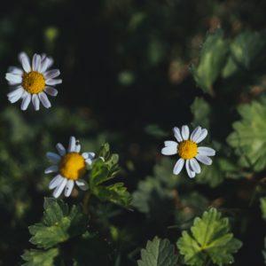 Camomille matricaire, Camomille vraie, Camomille allemande – Matricaria recutica