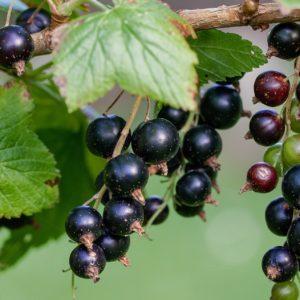 Cassissier – Ribes nigrum – Maritxu