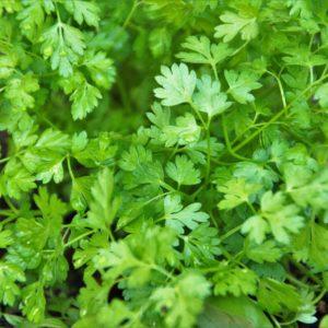 Cerfeuil commun – Anthriscus cerefolium