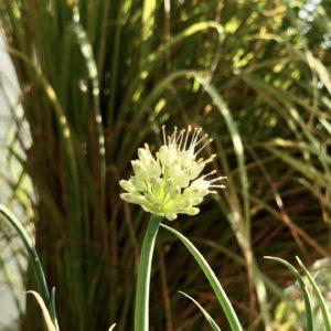 Ciboule – Allium fistulosum