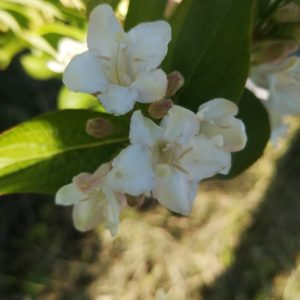 Weigelia à floraison blanche – Weigela