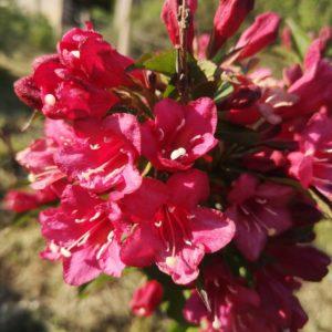 Weigelia à floraison rouge – Weigela