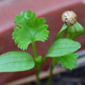 Coriandre – Coriandrum sativum