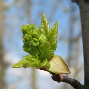 Erable Champêtre – Acer campestre