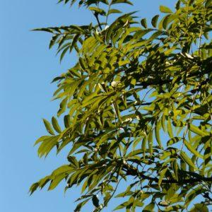 Frêne Commun – Fraxinus excelior