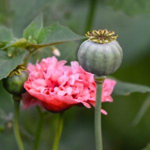 Pavot à fleurs doubles rose – Papaver somniferum