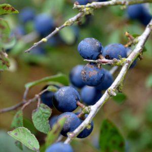 Prunellier – Prunus spinosa