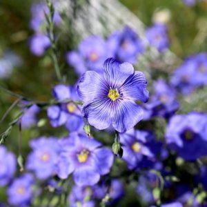 Lin bleu – Linum perenne usitatissimum