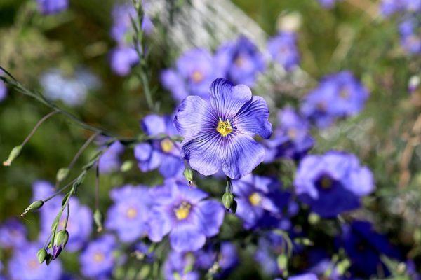 Lin bleu -Indartia -pépinière nourricière