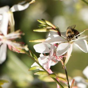 Gaura de lindheimer – Oenothera lindheimeri