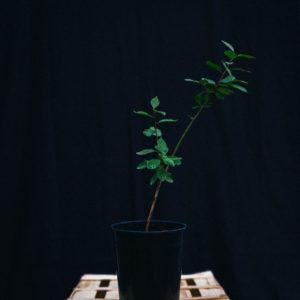 Mirabellier d'Ascain- Prunus domestica ssp.syriaca