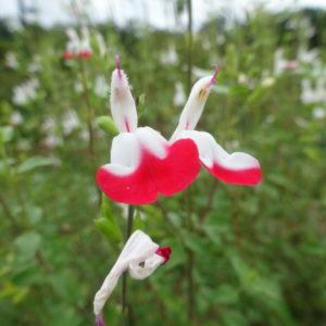 Sauge de graham 'hotlips' – Salvia microphylla